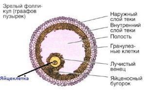 Фолликул с яйцеклеткой (схема)