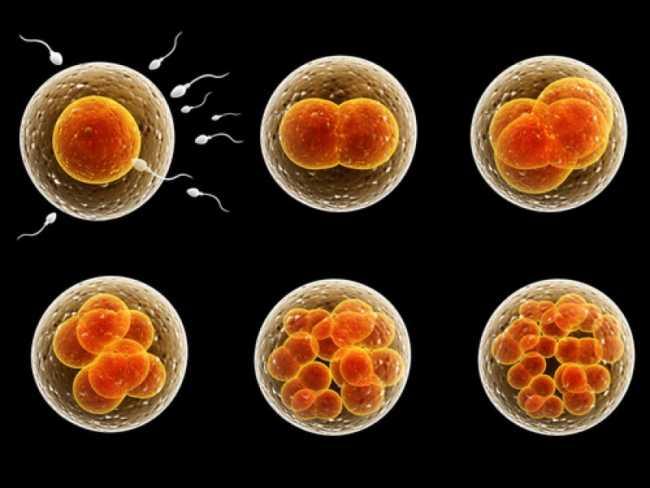 Развитие зародыша в первые дни после зачатия