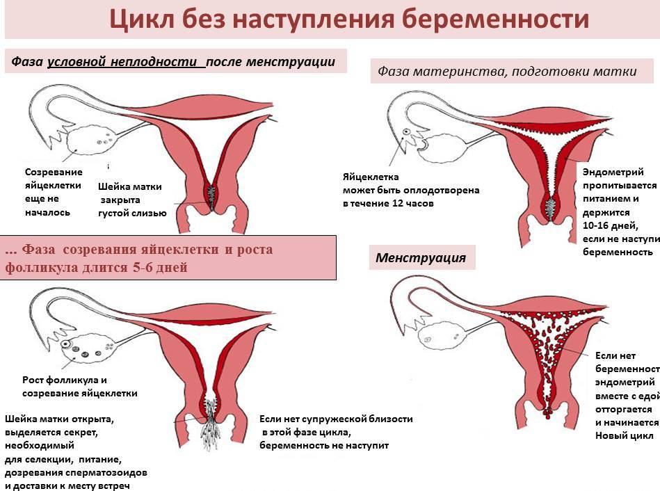 Женский цикл и его стадии