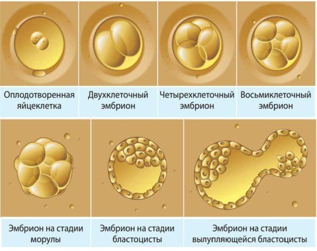Развитие эмбриона после оплодотворения