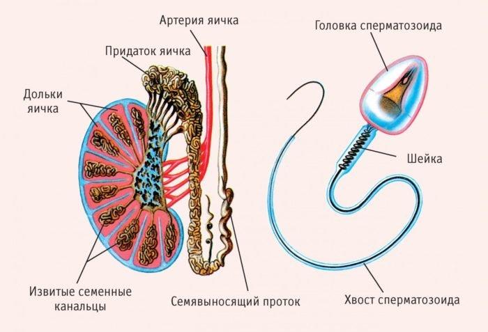 строение яичка и сперматазоида