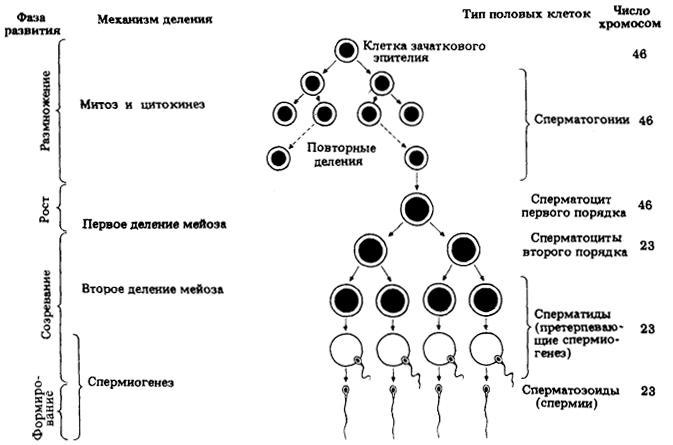 график развития сперматазоида