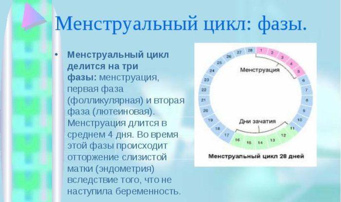 фазы цикла месячных