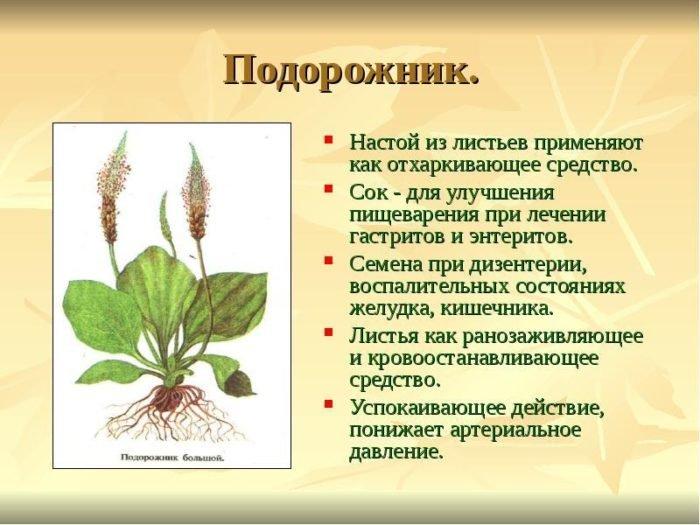 польза растения подорожник